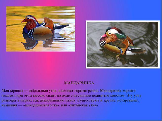 МАНДАРИНКА  Мандаринка— небольшая утка, населяет горные речки. Мандаринка...