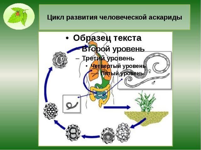 Цикл развития человеческой аскариды
