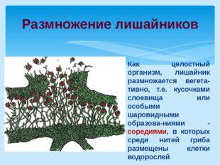 Размножение лишайников Как целостный организм, лишайник размножается вегета-т