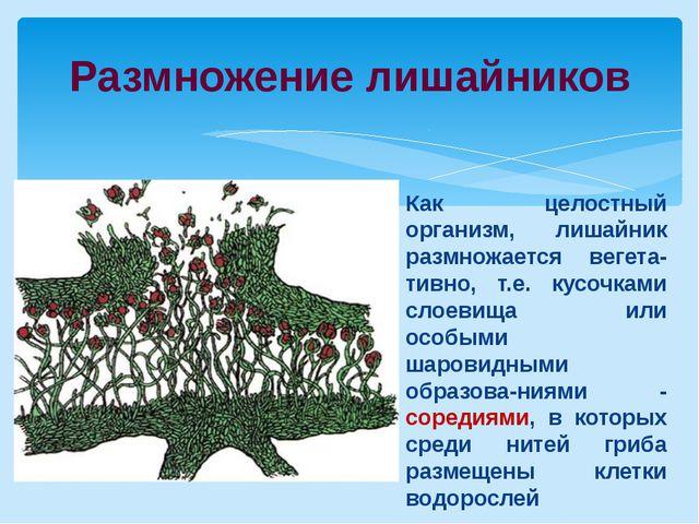Размножение лишайников Как целостный организм, лишайник размножается вегета-т...