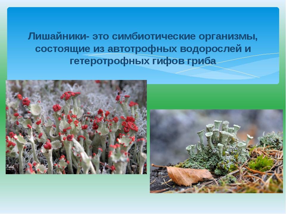 Лишайники- это симбиотические организмы, состоящие из автотрофных водорослей...
