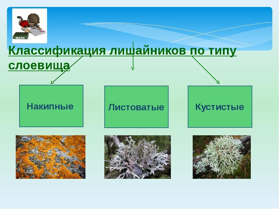 Классификация лишайников по типу слоевища Накипные Кустистые Листоватые