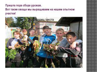 Пришла пора сбора урожая. Вот такие овощи мы выращиваем на нашем опытном учас