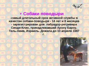 Собаки поводыри -самый длительный срок активной службы в качестве собаки-пово