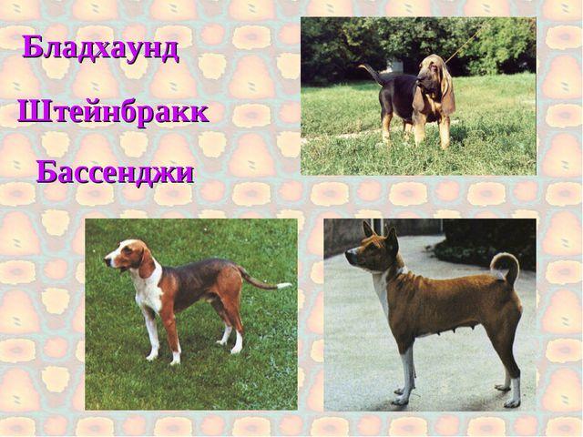 Бладхаунд Бассенджи Штейнбракк
