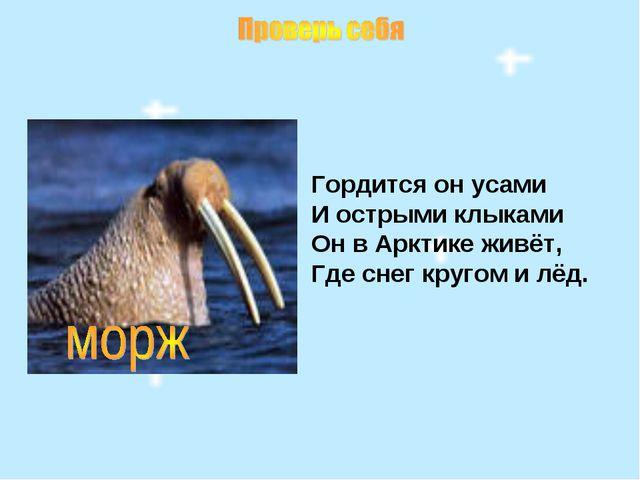 Гордится он усами И острыми клыками Он в Арктике живёт, Где снег кругом и лёд.
