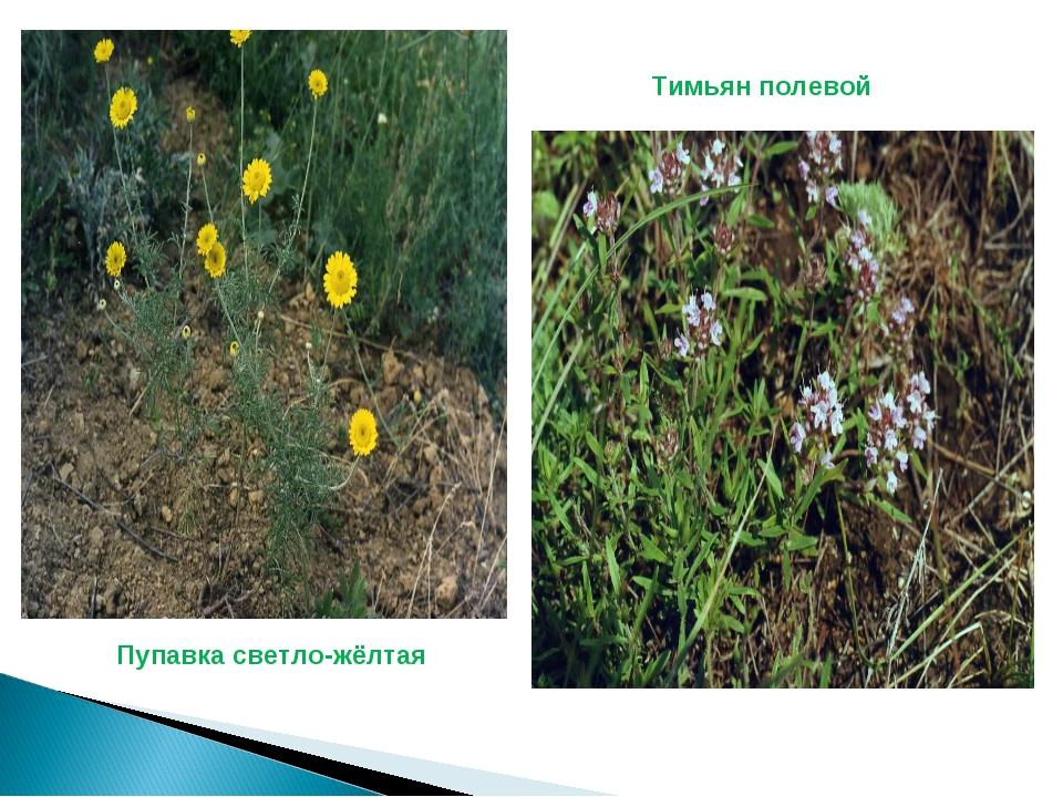 Пупавка светло-жёлтая Тимьян полевой