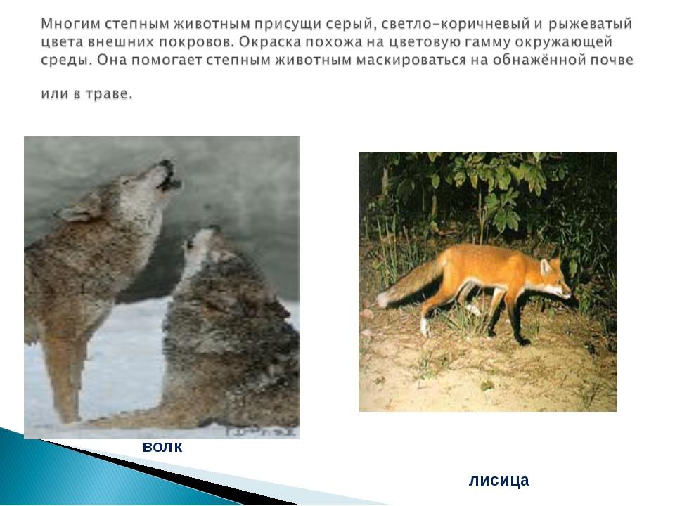 лисица волк