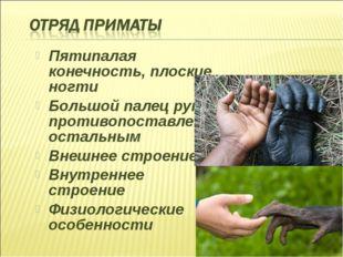 Пятипалая конечность, плоские ногти Большой палец руки противопоставлен остал