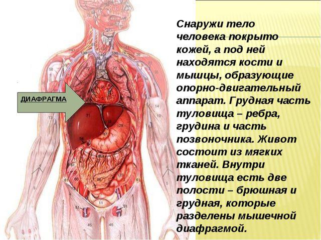 Снаружи тело человека покрыто кожей, а под ней находятся кости и мышцы, образ...