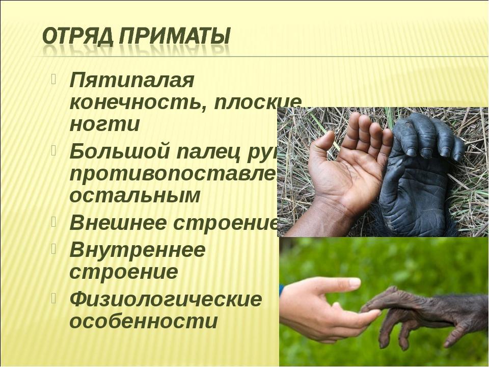 Пятипалая конечность, плоские ногти Большой палец руки противопоставлен остал...