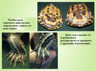 Чтобы дать черепахе имя нужно определить самец это или самка. Для этого нужно