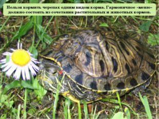 Нельзя кормить черепах одним видом корма. Гармоничное «меню» должно состоять