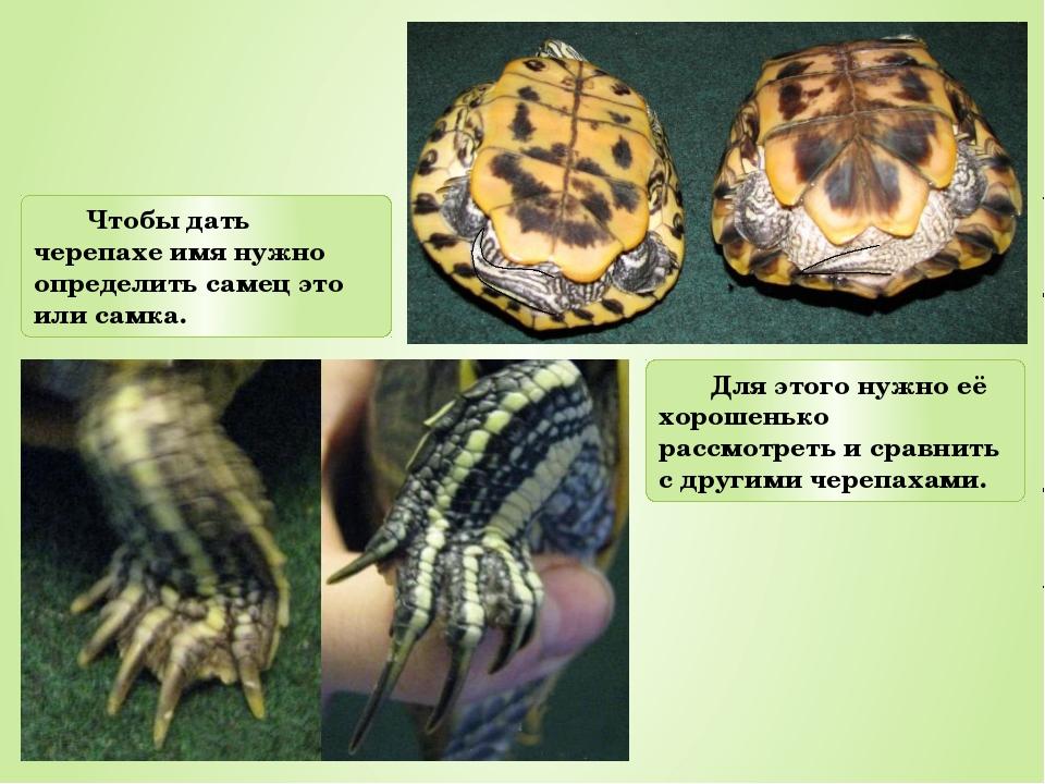 Чтобы дать черепахе имя нужно определить самец это или самка. Для этого нужно...