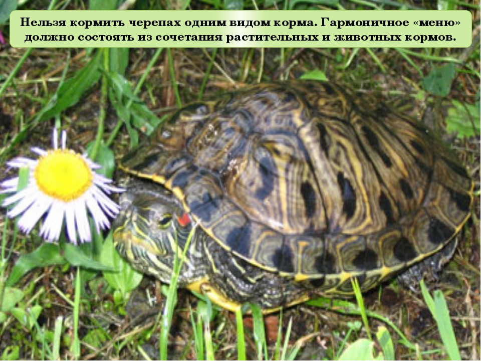 Нельзя кормить черепах одним видом корма. Гармоничное «меню» должно состоять...
