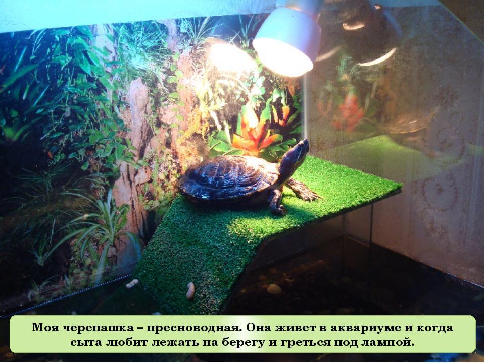 Моя черепашка – пресноводная. Она живет в аквариуме и когда сыта любит лежать...