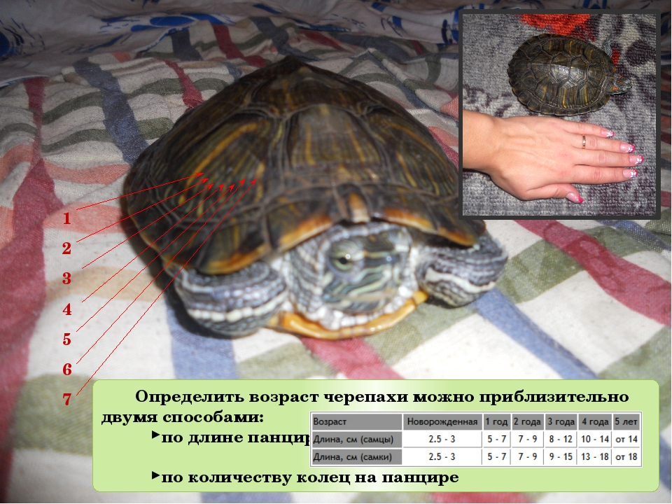 Красноухие черепахи определение пола