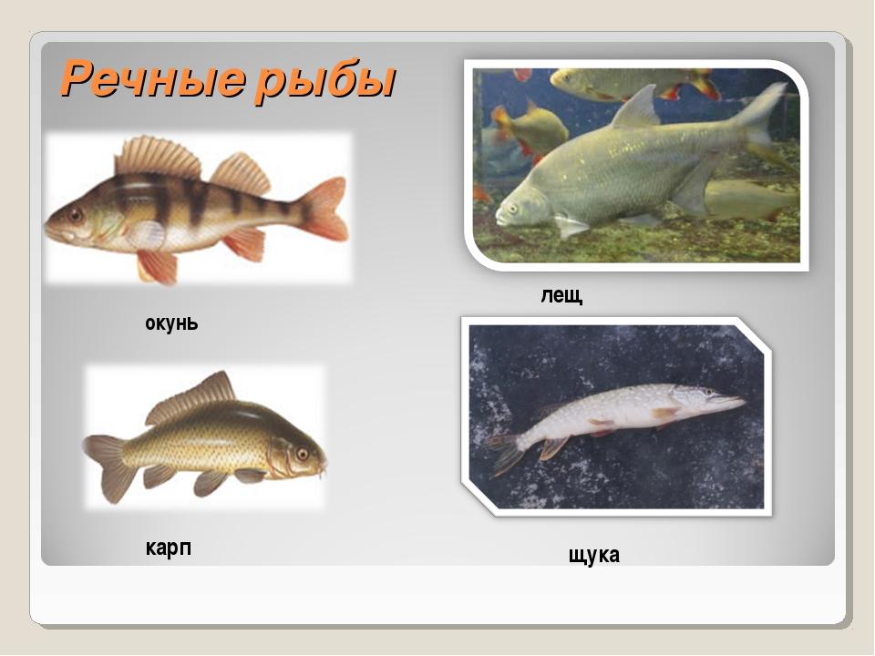 Речные рыбы окунь карп лещ щука