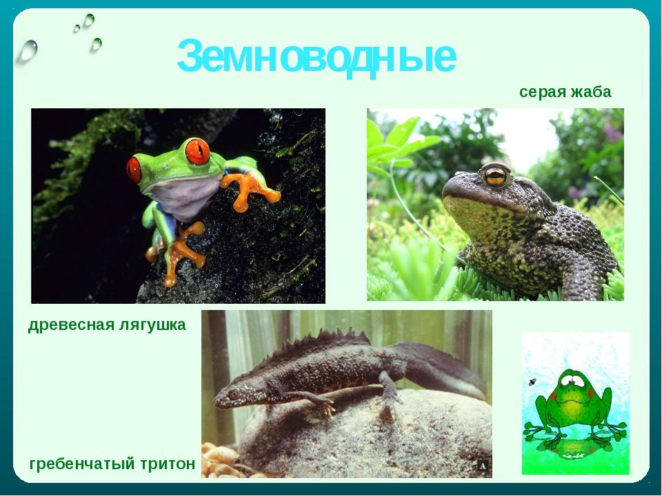 Земноводные серая жаба древесная лягушка гребенчатый тритон