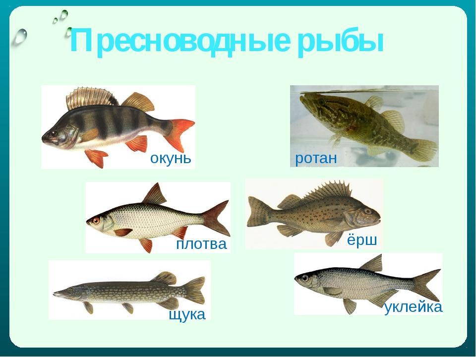 Пресноводные рыбы окунь ротан плотва щука ёрш уклейка