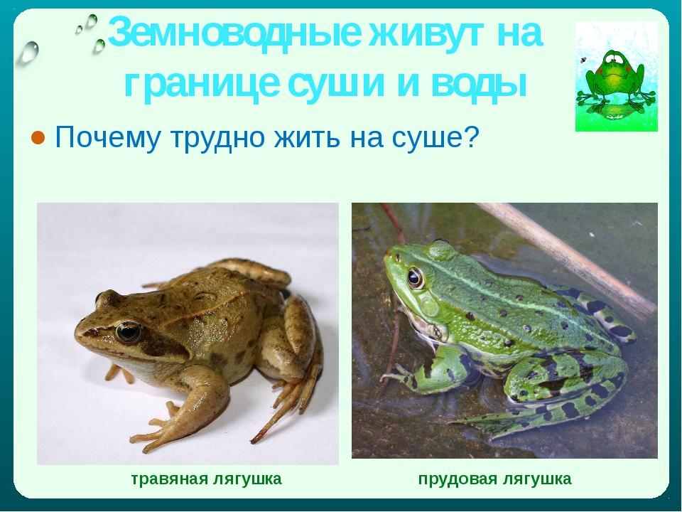 Земноводные живут на границе суши и воды Почему трудно жить на суше? травяная...