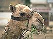 media/source_pictures/camel.zip