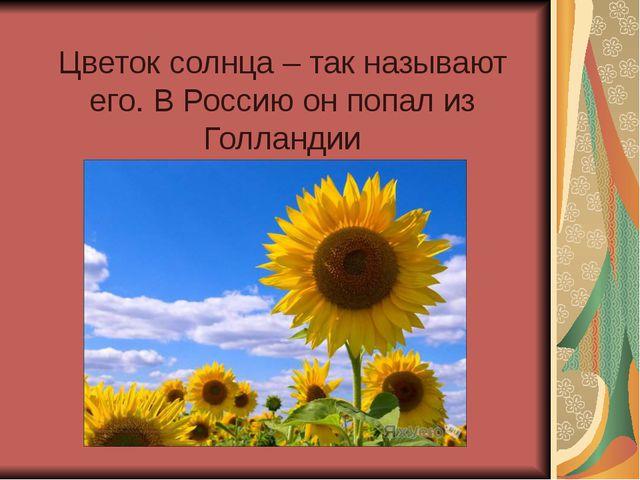 Цветок солнца – так называют его. В Россию он попал из Голландии