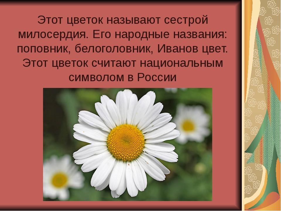 Этот цветок называют сестрой милосердия. Его народные названия: поповник, бел...