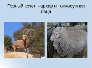 Горный козел –архар и тонкорунная овца