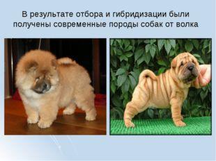 В результате отбора и гибридизации были получены современные породы собак от