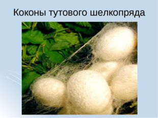 Коконы тутового шелкопряда