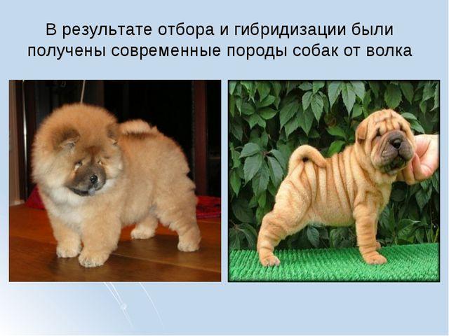 В результате отбора и гибридизации были получены современные породы собак от...