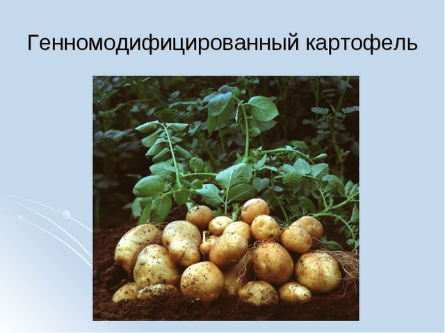 Генномодифицированный картофель