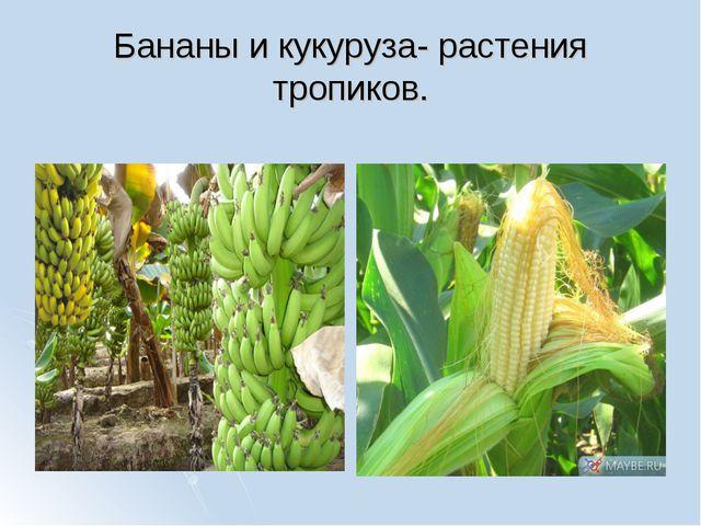 Бананы и кукуруза- растения тропиков.