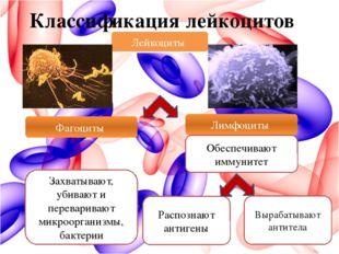 Классификация лейкоцитов Лейкоциты Лимфоциты Захватывают, убивают и переварив