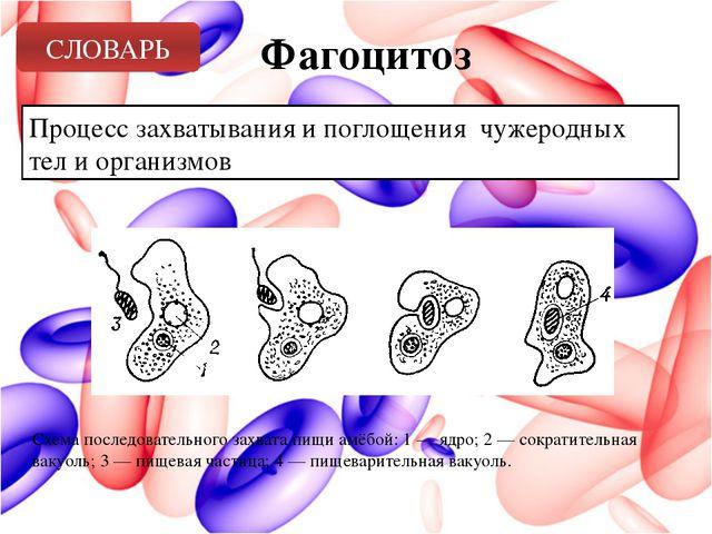 Фагоцитоз Процесс захватывания и поглощения чужеродных тел и организмов СЛОВА...