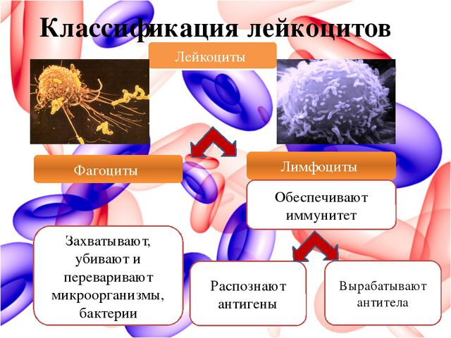 Классификация лейкоцитов Лейкоциты Лимфоциты Захватывают, убивают и переварив...