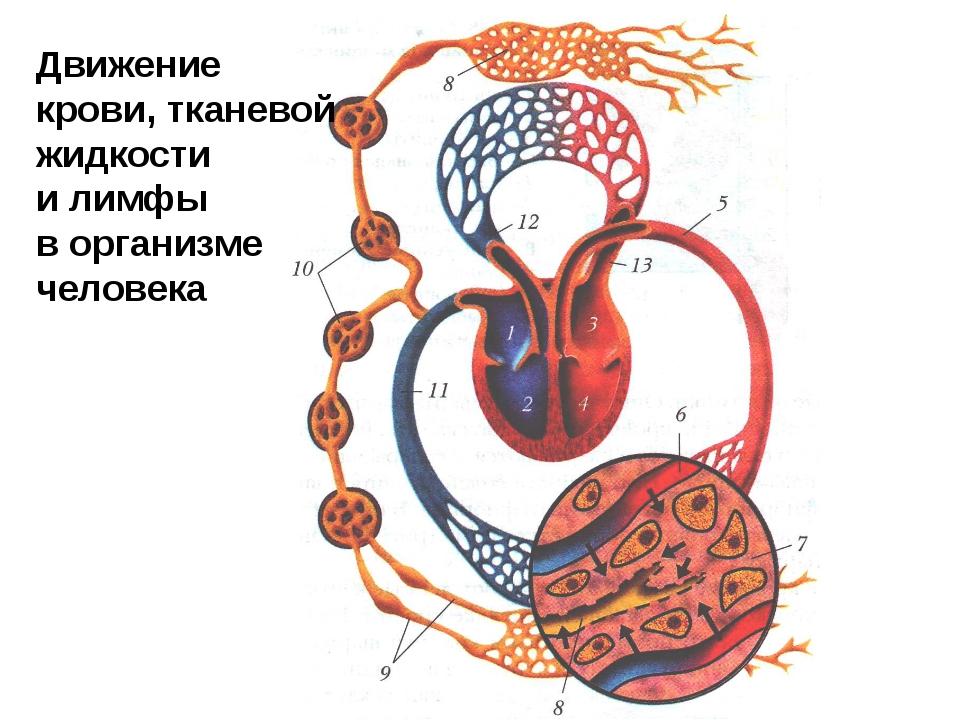 Движение крови, тканевой жидкости и лимфы в организме человека