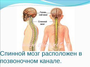 Спинной мозг расположен в позвоночном канале.