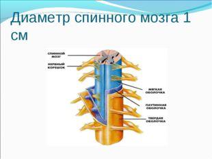Диаметр спинного мозга 1 см