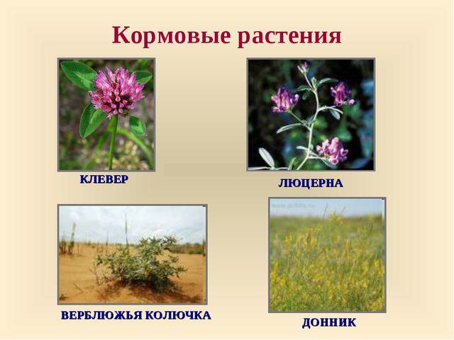 Кормовые растения ДОННИК ВЕРБЛЮЖЬЯ КОЛЮЧКА ЛЮЦЕРНА КЛЕВЕР