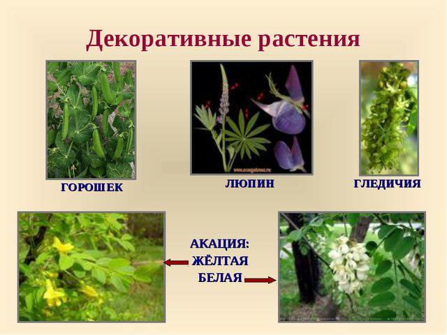 Декоративные растения ГОРОШЕК ЛЮПИН ГЛЕДИЧИЯ АКАЦИЯ: ЖЁЛТАЯ БЕЛАЯ