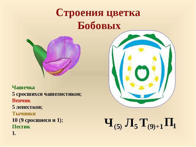 Строения цветка Бобовых Чашечка 5 сросшихся чашелистиков; Венчик 5 лепестков;...