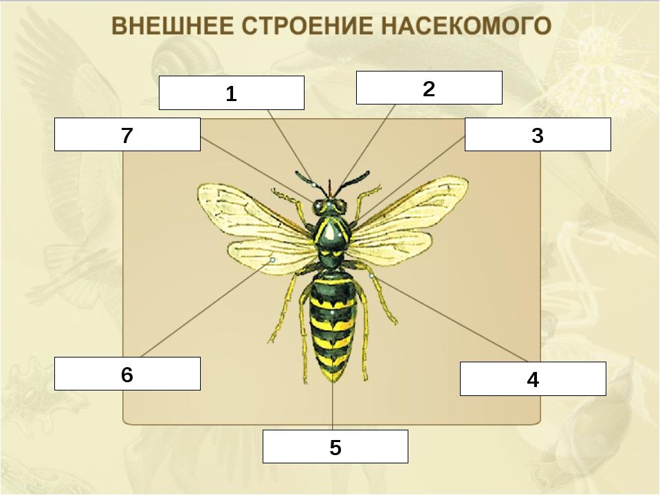 Картинка строение тела насекомого