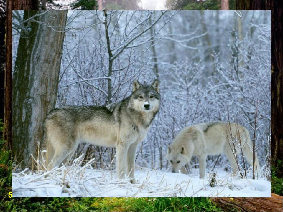 В тайге водятся хищные животные: волки, рыси. 5