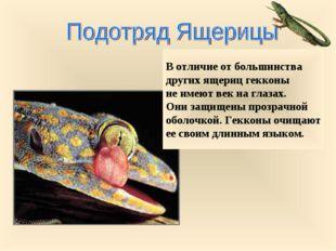 В отличие от большинства других ящериц гекконы не имеют век на глазах. Они за