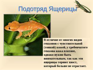 В отличие от многих видов гекконов с чувствительной (тонкой) кожей, у гребенч