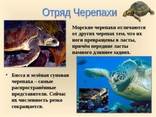 Бисса и зелёная суповая черепаха – самые распространённые представители. Сейч