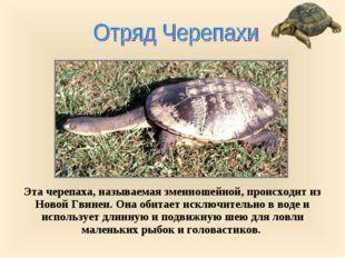 Эта черепаха, называемая змеиношейной, происходит из Новой Гвинеи. Она обитае