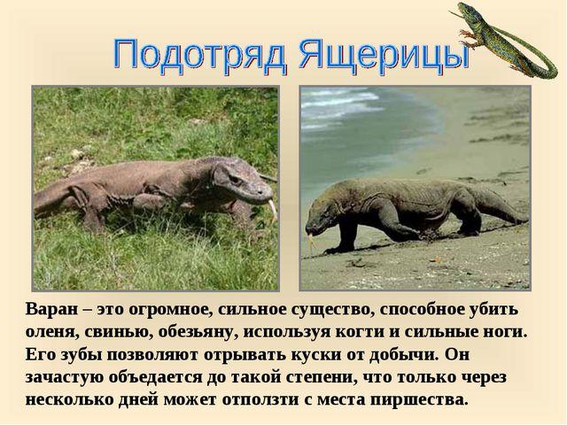 Варан – это огромное, сильное существо, способное убить оленя, свинью, обезья...